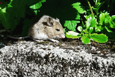 rats and mice pest control services